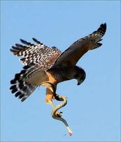 hawk_snake